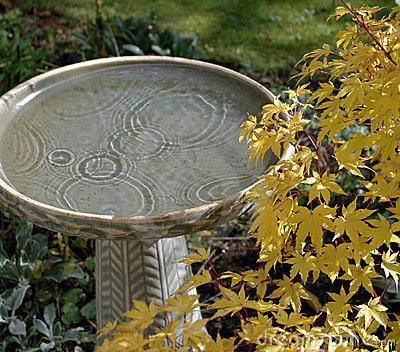 Birdbath and Maple