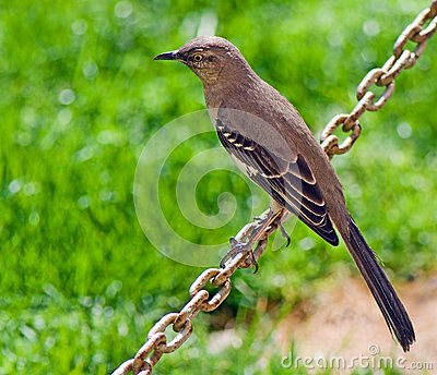 Birdie se reposant sur une chaîne