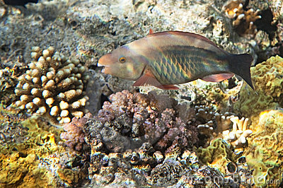 Birdled parrotfish