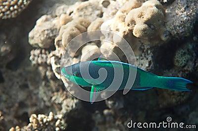 Birdled parrotfish