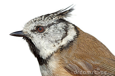 Birds of Europe and World - Crested Tit