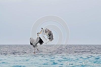 Birds fight in midair