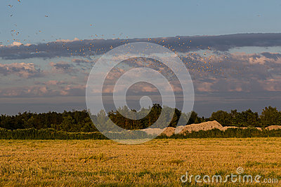 Birds over corn field