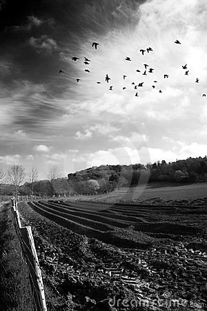 Birds over ploughed field