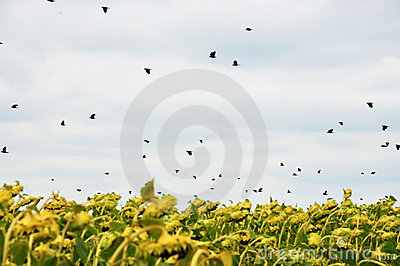 Birds over sunflowers