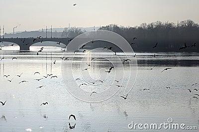 Birds over the Vltava river