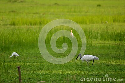 Birds on paddy field stock photos