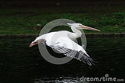 BIRDS - Pelican / Pelikan