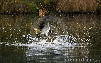 Birds of Prey - Osprey fishing