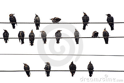 Birds on a Wire.  Isolated on