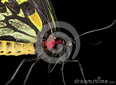 Birdwing Butterfly (Extreme close-up)