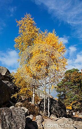 Birken-Bäume