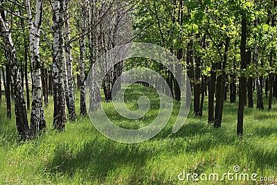 Birken- und Eichenim Frühjahr Zeit
