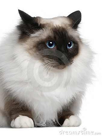 Birman (2 years old)