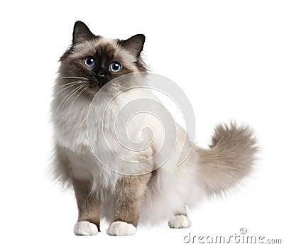 Birman cat, 11 months old