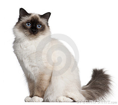 Birman cat, 11 months old, sitting