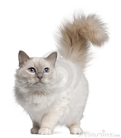 Birman cat, 11 months old, standing