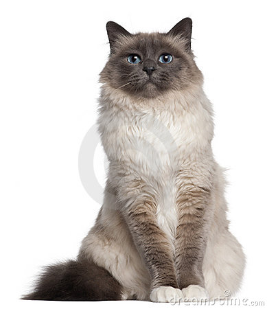 Birman cat, 2 and a half years old, sitting