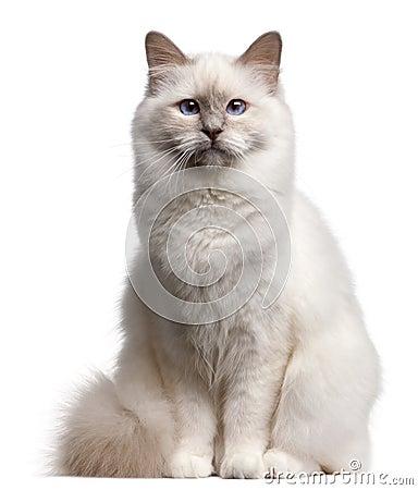 Birman cat, 9 months old