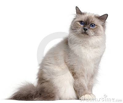 Birman cat, 9 months old