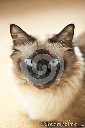 Birman cat portrait
