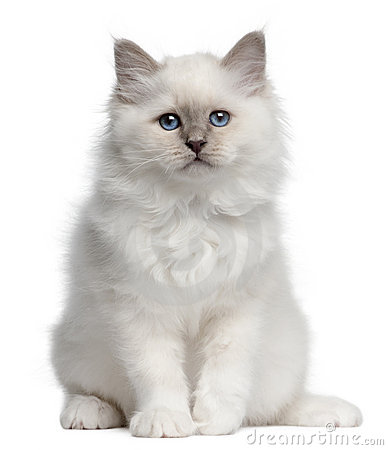 Birman kitten, 10 weeks old, sitting
