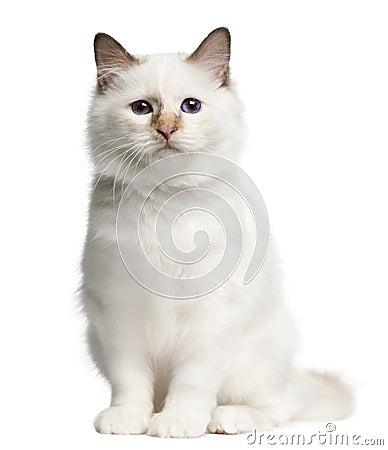 Birman kitten, 4 months old, sitting