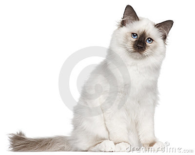 Birman kitten, 4 months old, sitting