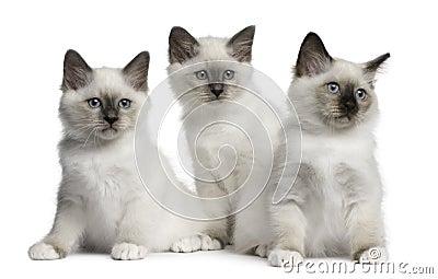 Birman Kittens, 2 months old, sitting