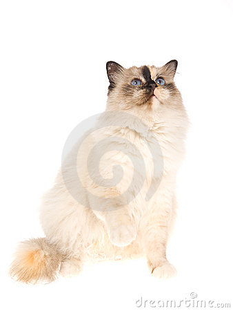 Birman tortie with raised paw on white background