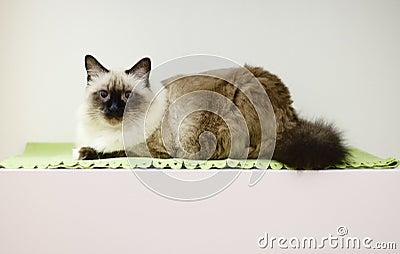 Birmanese cat