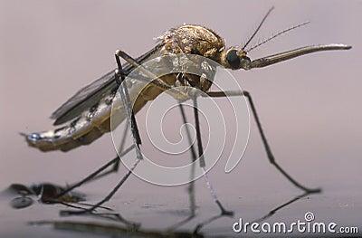 The birth of a female mosquito