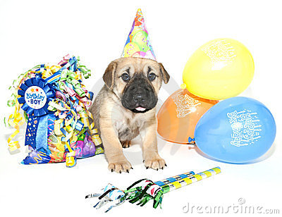 Birthday Shar pei