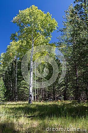 Free Bismarck Lake Trail In Northern Arizona. Stock Photography - 77997422