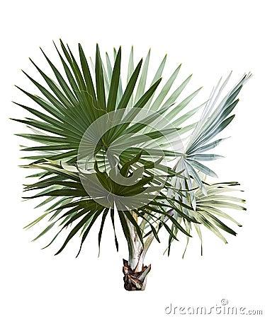 Free Bismarck Palm Stock Images - 29180334