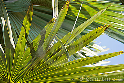 Bismarck Palm leaves