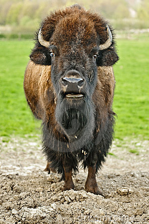 Free Bison Stock Images - 14921624