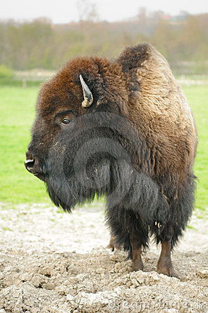 Free Bison Royalty Free Stock Photo - 14921635