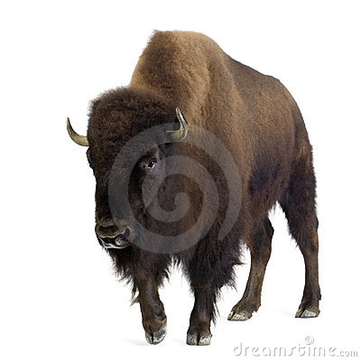 Free Bison Stock Images - 4247584