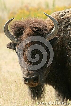 Free Bison Stock Photos - 6438303
