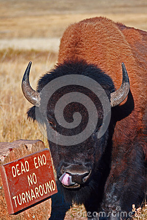 Free Bison Buffalo Bull Sticking Out His Tongue In Wind Cave National Park In The Black Hills Of South Dakota USA Royalty Free Stock Photos - 68409248