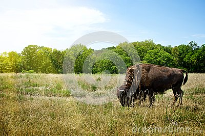 Bison Buffalo grazing