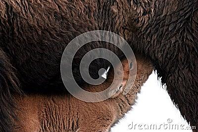 Bison calf feeding