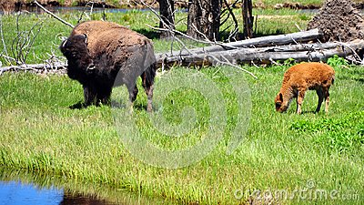 Bison & calf. Yellowstone National Park