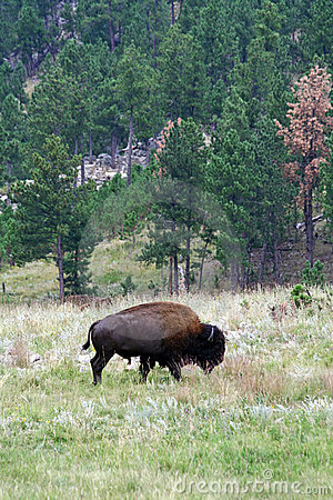 Bison in Custer State Park, South Dakota