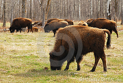 Bison in elk island