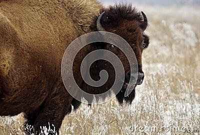 Bison gaze