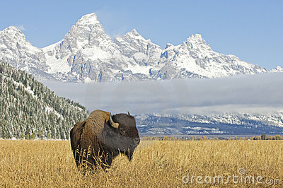 Bison at Grand Teton