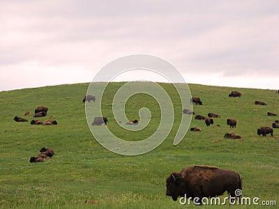 Bison Herd on the American Western Prairie