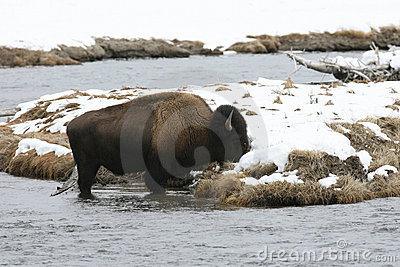 Bison on madison River in Yellowstone Park